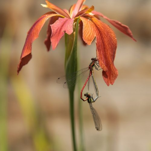 Damselflies mating on Iris flower